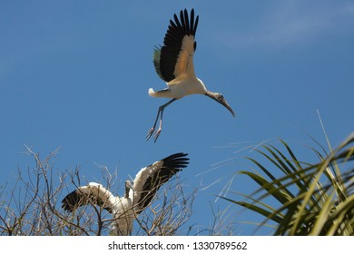 Wood stork, Mycteria americana, taking off from a tree, with wings outspread and another stork watching, in St. Augustine, Florida.
