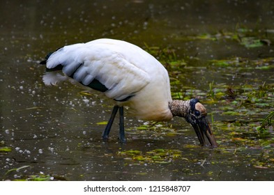 wood stork wading in wetlands hunting for food.