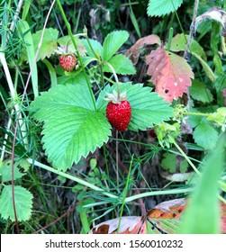 Wood strawberry beautiful nature Serbia
