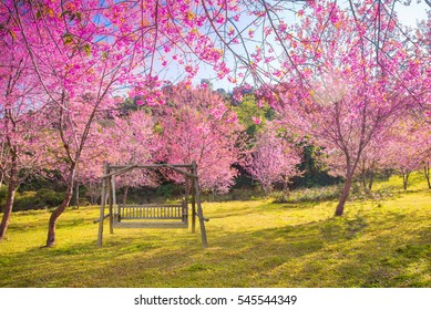The wood swing in garden beautiful pink Cherry blossom flower on sunshine day.