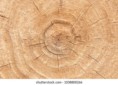 Wood texture of cut tree trunk. Close-up