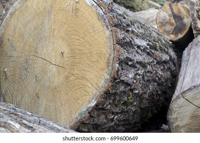 Wood texture of cut tree.Round cut down tree with annual rings.