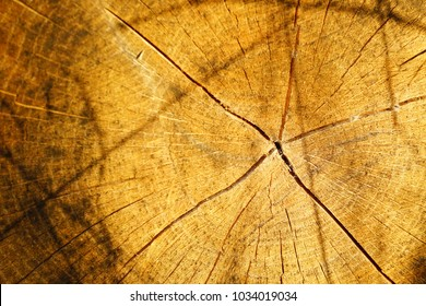 Wood texture of cutted old tree trunk, close-up.
