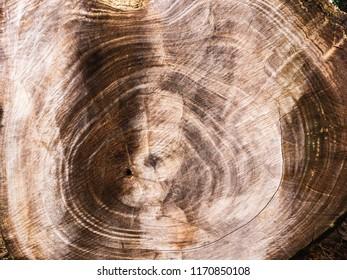 Wood texture of Samanea saman tree