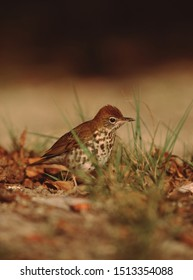 Wood Thrush (Hylocichla Mustelina) Bird