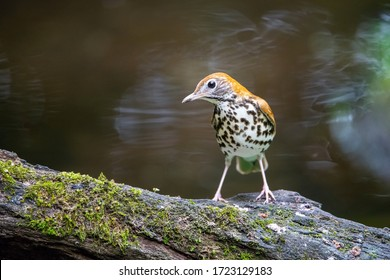 The Wood thrush, Hylocichla mustelina The bird is perched on the branch at the beautiful flower in the rain forest America Costa Rica Wildlife nature scene. green background
