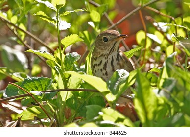 Wood thrush (Hylocichla mustelina) in leaves, Central Park, NY