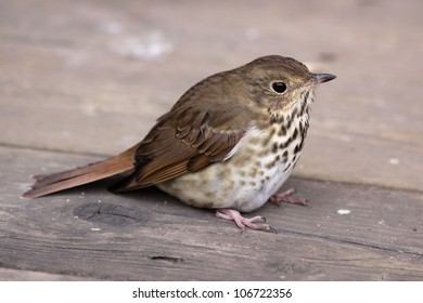 A Wood Thrush (Hylocichla mustelina) sitting on a deck.