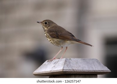 A Wood Thrush (Hylocichla mustelina) sitting  on a fence post.