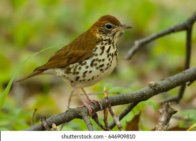 Wood Thrush perched on a branch.
