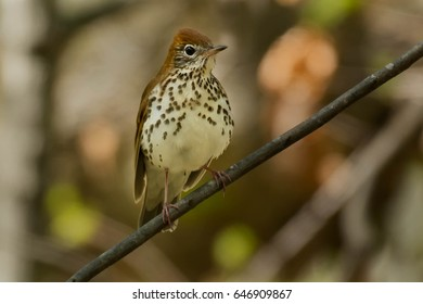 Wood Thrush perched on a branch..