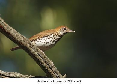 A Wood Thrush perched on a limb