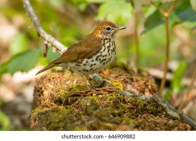 Wood Thrush perched on a mossy log.
