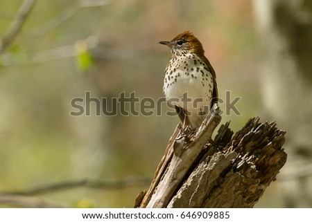 Wood Thrush perched on a rotting stump.