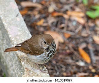 A Wood Thrush perches on a wall in Florida