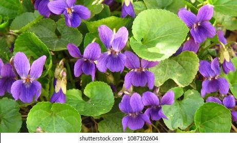 wood violet, Viola odorata,