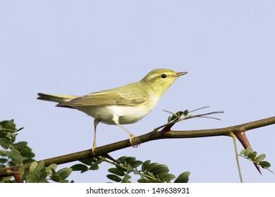 wood warbler in natural habitat / Phylloscopus sibilatrix