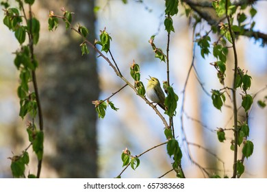 Wood Warbler on a singing at spring