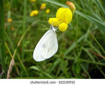 Wood White Butterfly Leptidea sinapis), feeding on a Birds-foot Trefoil (Lotus corniculatus)