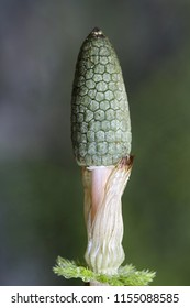 Wood or woodland horsetail (Equisetum  sylvaticum).  Horsetails are used as biochemical indicators for gold.