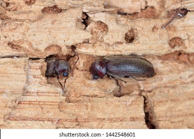 Woodboring beetle, wood borer, anobiidae on damaged wood, extreme close-up