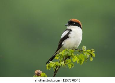 Woodchat Shrike / Lanius senator