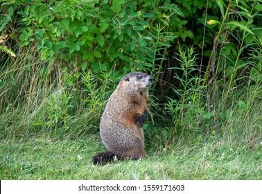 Woodchuck Groundhog looking sideways watching you