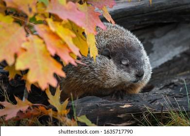 Woodchuck (Marmota monax) Dozes in Log with Autumn Leaves - captive animal