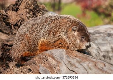 Woodchuck (Marmota monax) Faces Right - captive animal