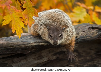 Woodchuck (Marmota monax) Leans Out Over Log Paw Extended Autumn - captive animal