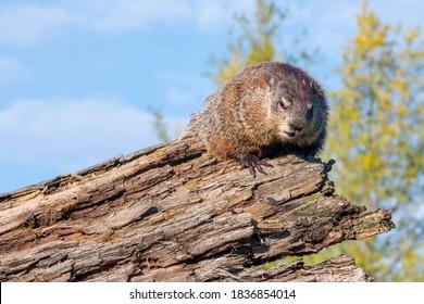 Woodchuck (Marmota monax) on a Log