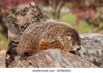 Woodchuck (Marmota monax) Sits on Log - captive animal