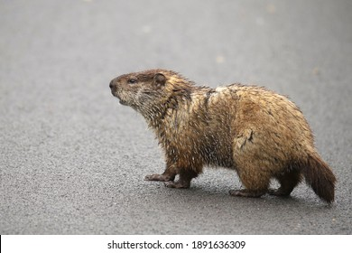 Woodchuck (marmota monax) walking across the road