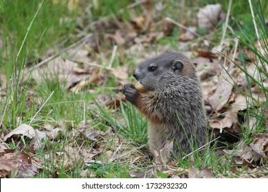 Woodchuck pup eating a blade of grass