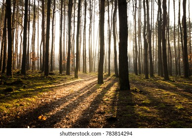 Wooded forest trees backlit by golden sunlight before sunset with sun rays pouring through trees