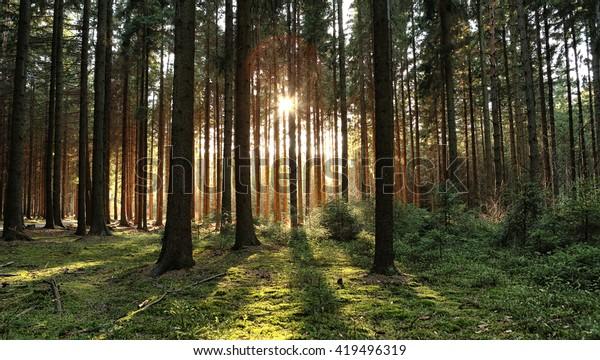 Лесные лесные деревья с подсветкой золотого солнечного света перед закатом с солнечными лучами, пролитыми через деревья на полу леса, освещающие ветви деревьев