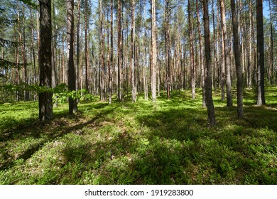 Wooded forest trees on forest floor. Forest moss trees view. Landscape. Background. Lithuania.