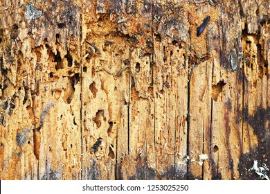 wooden background of decayed plank, Anobium punctatum or common furniture beetle attack
