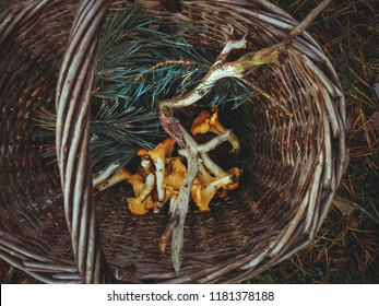 Wooden basket with yellow chanterelles mushrooms and pine evergreen needles top view. Autumn forest background with chanterelles and pine branches close up. Outdoor fall in the woods, wooden basket.