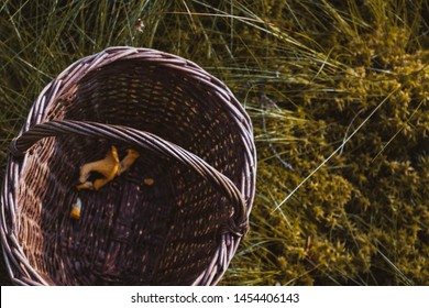 Wooden basket with yellow chanterelles mushrooms  top view. Autumn forest background with chanterelles and pine branches close up. Outdoor summer fall in the woods background, wooden basket.
