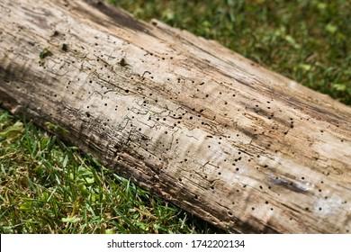 Holzbalken im Gras voller kleiner Löcher, befallen durch Holzwurm