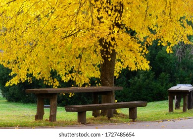 Wooden bench under small leaved lime tree in autumn colors. Smallleaved linden Tilia cordata in the park.