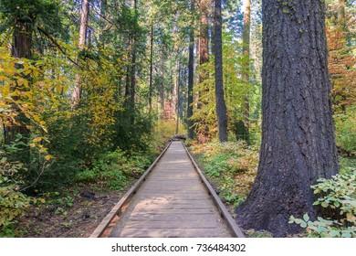 Wooden boardwalk through an evergreen trees forest, Calaveras Big Trees State Park, California