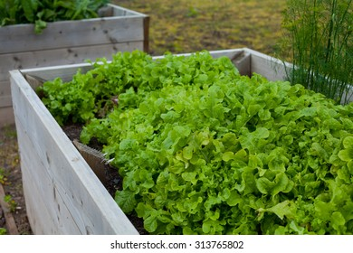 wooden box with growing vegetables - onion.