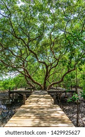 Wooden bridge and green giant avicennia tree in mangrove forest.