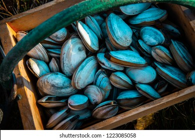 A wooden bushel of freshly harvested Maine clams.