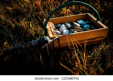 A wooden bushel of freshly harvested Maine clams with a clam rake lying on the marshland grass next to it.