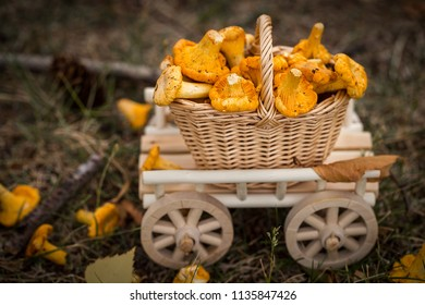 A wooden cart with  fresh mushrooms in the forest. Raw wild mushrooms chanterelles. Vegetarian food. Selective focus