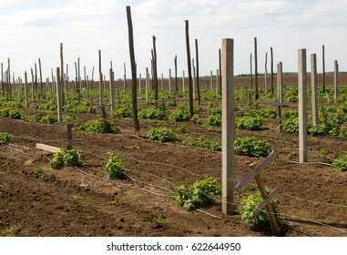 Wooden and concrete poles placed in the field to bolster and protect raspberries