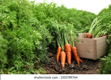 Wooden crate of fresh ripe carrots on field. Organic farming
